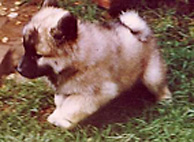 Eurasier Welpe Billy, ZG