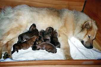 Eurasier female with her puppies