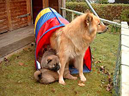 Eurasier puppies with their mother, ZG