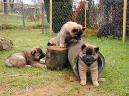 Eurasier puppies exploring their environment, ZG
